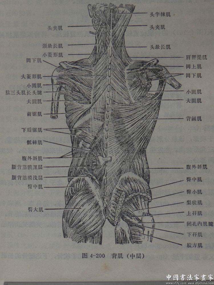 背部身体结构_央美的深度-----中央美院陈伟生教授与人体解剖结构研究-学术